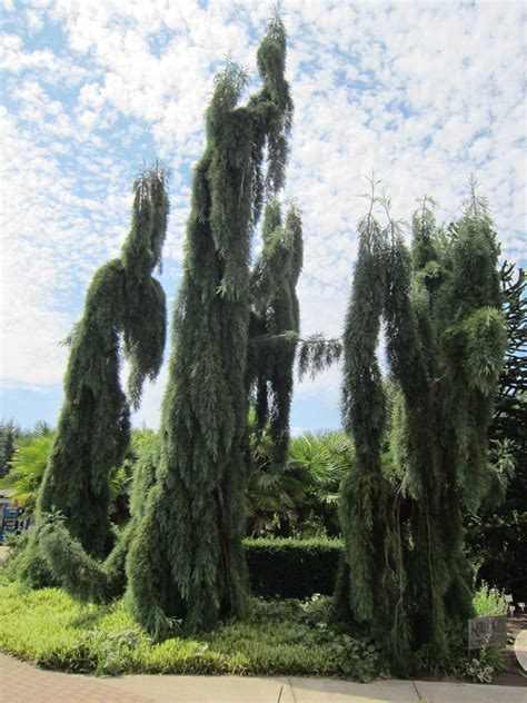 Another Perfect Plant: Weeping Giant Sequoia — Land Morphology