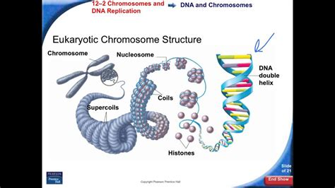 12-2 Chromosomes and DNA replication - YouTube
