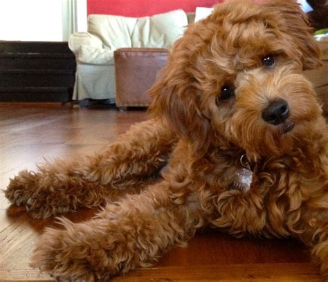 Oh God - the amount of cuteness this goldendoodle has