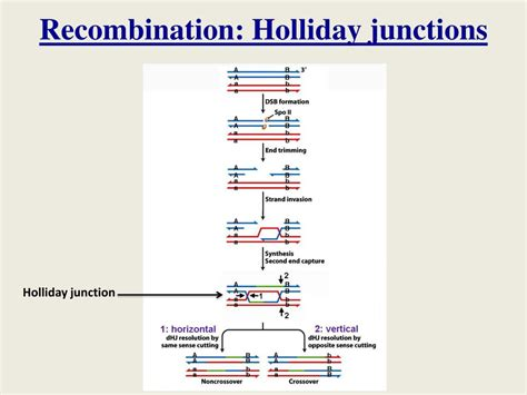 PPT - Lecture 25: DNA repair, recombination; changes in