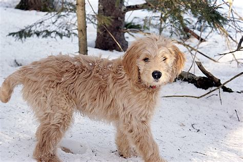 Top 10 outstanding hybrid dogs